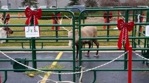 Reindeer Spotting at KAPCO's Kids2Kids event
